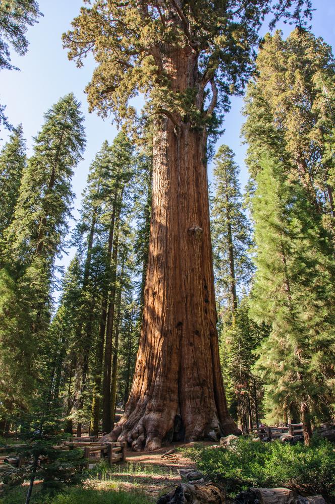 sequoie giganti Americane