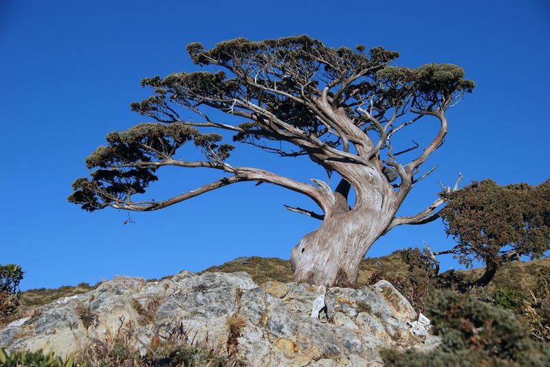 Risultati immagini per pino loricato