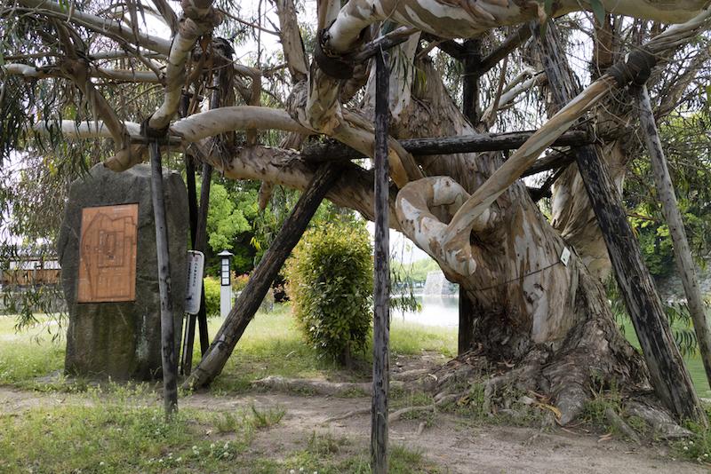 Hibaku Jumoku alberi sopravvissuti