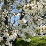 ciliegio selvatico di Besana