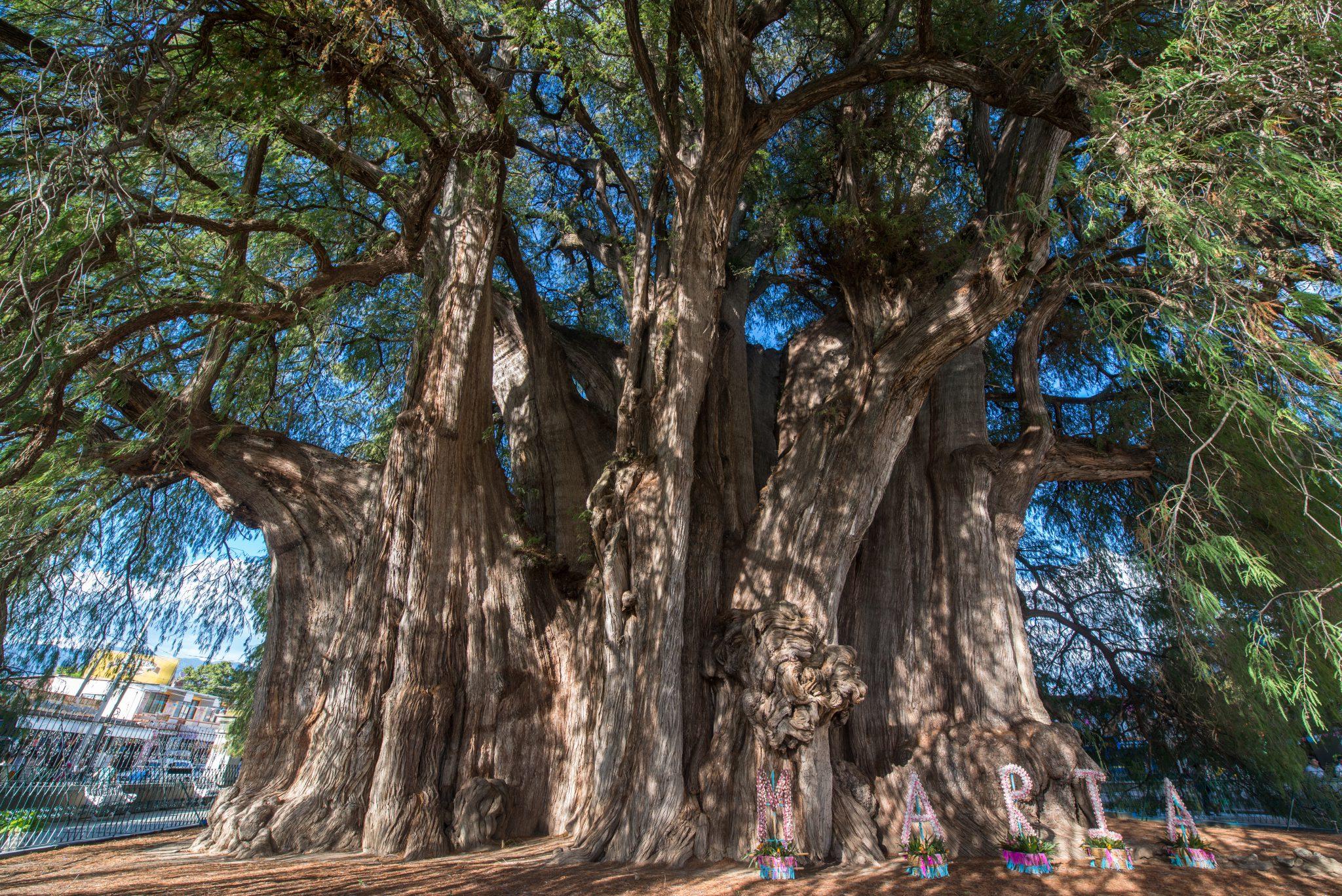 albero di Tule